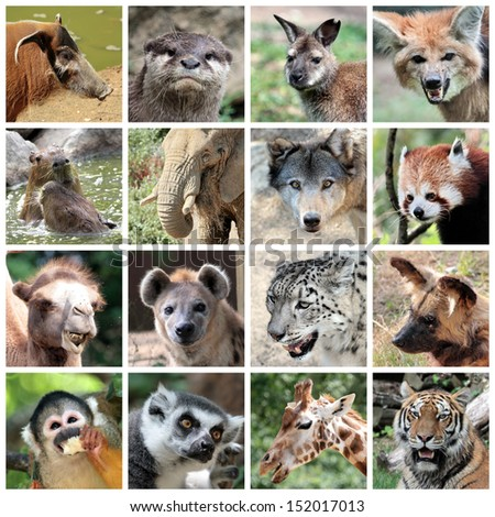 Animals collage with potamochoerus otter wallaby maned and grey wolf capybara elephant red panda camel hyena snow leopard lycaon squirrel monkey maki catta giraffe tiger portrait