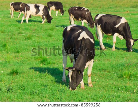 Animals Cows Grazing