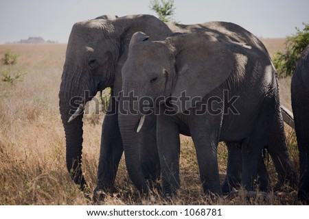 animals 054 elephant.