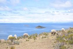Animals graze on Isla del Sol, a village on the Bolivian side of Lake Titicaca