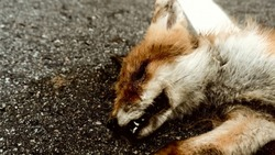 Animals hit on the roads by cars. A European fox (Vulpes vulpes) Red Fox cub was hit by a car on a summer night as a consequence of fast riding