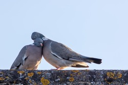 Animals in love. Breeding pair of birds preening with affection. Wood pigeon showing emotional engagement as they preen on a roof top. Emotion and feelings in a common pest!