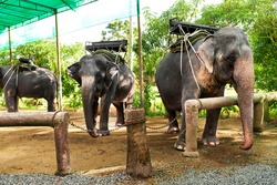 Animals In Thailand. Group Of Thai Elephants With Ride Saddles In Elephant Camp. Travel Asia, Tourism.