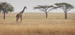 Animals in the wild - Serengeti landscape with a lonely giraffe wandering, Tanzania