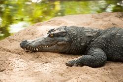 Animals in wild. Crocodile basking in the sun