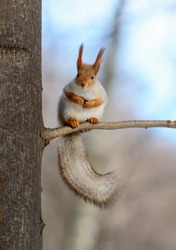 Animals in wildlife. Amazing photo of cute red squirrel with big fluffy tail sitting high on a tree branch at sunny winter day and blue sky as background.