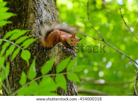 Animals in wildlife. Amazing picture of beautiful sunny squirrel sitting on a high tree with green leaves in deep forest as a background. Closeup animal or red squirrel perspective.
