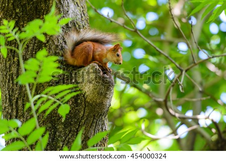 Animals in wildlife. Amazing picture of beautiful sunny squirrel sitting on a high tree with green leaves in deep forest.  #454000324