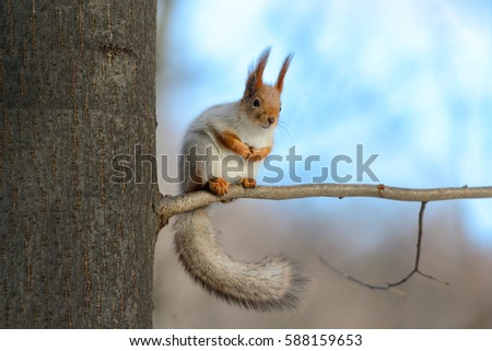 Animals in wildlife. Amazing picture of beautiful sunny squirrel with big fluffy tail. Red squirrel sitting on high tree in sunny winter forest with blue sky background. Close up animal perspective. #588159653