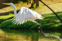 Animals in Wildlife - White Egrets