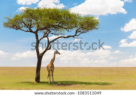 animals, nature and african wildlife concept - one giraffe standing under a tree in maasai mara national reserve savanna