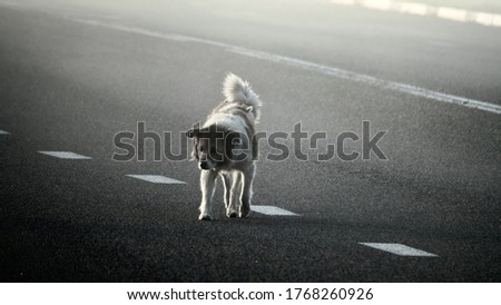 Animals on the road. Lone stray dog crosses highway in fog and wanders into center of road which is dangerous for it ang drivers. J-walk Foto stock ©