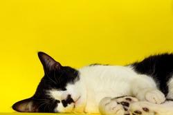 Animals, Pets Concept.Tuxedo Cat Sleeping. Black Cat Relaxing. Black Cat on Yellow Background.