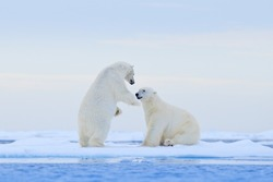Animals playing in snow, Arctic wildlife. Funny image from nature. Polar bear dancing on the ice. Two Polar bears love on drifting ice with snow, white animals in the nature habitat, Svalbard, Norway.