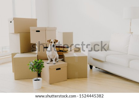 Animals, relocation and moving concept. Small pedigree dog poses on pile of carton boxes with personal hosts belongings, changes place of living together with its owners, empty room with sofa