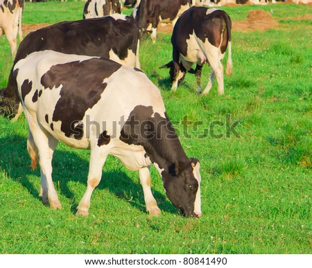 Animals View Cows