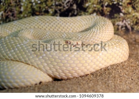 Stock Photo Animals: white western diamondback rattlesnake or Texas diamond-back (Crotalus atrox), closeup shot