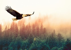 Animals / Wildlife - Big american bald eagle flying (left to right). It is isolated on a background with a mountain and green trees from forest. Sunset. Freedom concept. Alaska (Kenai Mountains)