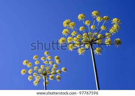 Anise, Pimpinella - inflorescence of Anise spice, vegetable