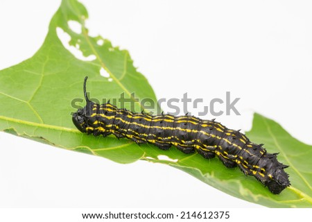 Anisota senatoria, orange striped oakworm close-up, on  oak leaf. Larva defoliates the leaves of host trees such as oaks,  in late summer.