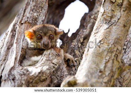 Shutterstock Ankaran Sportive Lemur, Lepilemur ankaranensis, a rare endemic lemur is nocturnal, in the reserve Tsingy Ankarana, Madagascar
