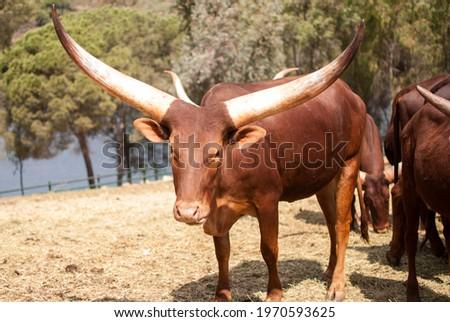 Ankole, Bos taurus, bovines with impressive giant horns Stockfoto ©
