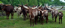 Ankole-Watusi is a modern American breed of domestic cattle. It derives from the Ankole group of Sanga cattle breeds of central Africa. It is characterized by very large horns.