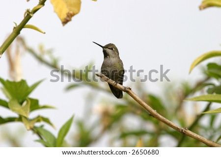 stock-photo-anna-s-hummingbird-calypte-anna-2650680.jpg