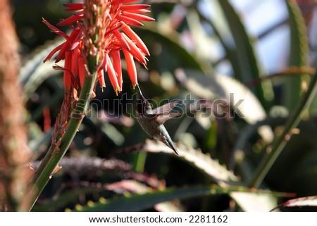 stock-photo-anna-s-hummingbird-calypte-anna-drinks-nector-from-a-aloe-vera-plant-2281162.jpg