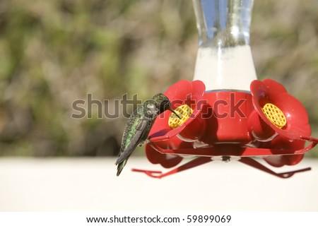 stock-photo-anna-s-hummingbird-calypte-anna-enjoys-a-lunch-of-sugar-water-at-a-hummingbird-feeder-59899069.jpg