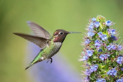 Anna's Hummingbird Flying in Green and Purple Background