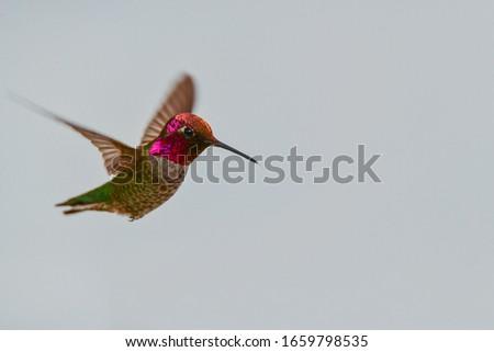 Photo of  Anna's Hummingbird in a Hover (Calypte anna)