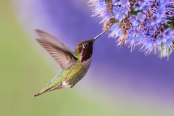 Anna's Hummingbird in flight with purple flower
