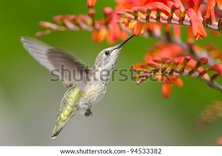 Annas Hummingbird Feeding on Crocosmia