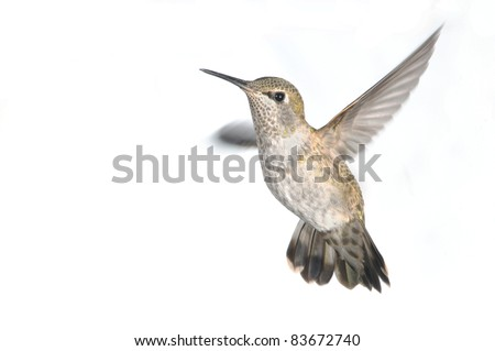 Annas Hummingbird in Flight - Isolated White Background