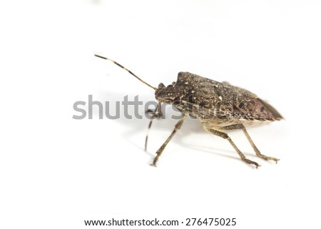 Annoying household brown marmorated stink bug in macro close up photo