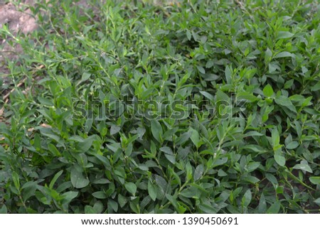 Annual herbaceous plant. Green leaves, bushes. Field. Knotweed bird, Polygonum aviculare