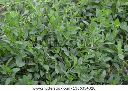 Annual herbaceous plant. Green leaves, bushes. Field plant. Knotweed bird, Polygonum aviculare