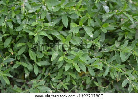 Annual herbaceous plant. Green leaves, bushes. Gardening, Field plant. Home garden, flower bed. House, field. Knotweed bird, Polygonum aviculare