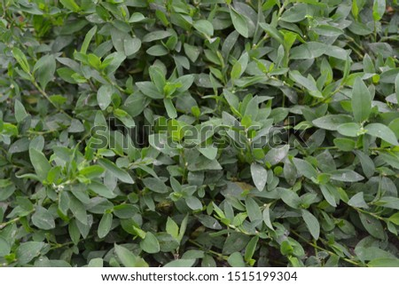 Annual herbaceous plant. Green leaves, bushes. Gardening, Field plant. Knotweed bird, Polygonum aviculare