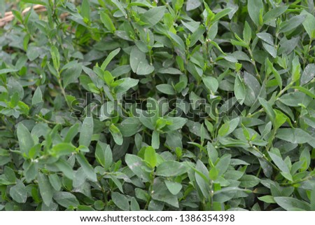 Annual herbaceous plant. Green leaves. Knotweed bird, Polygonum aviculare