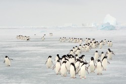 Annual migration of Adélie penguin in South Orkney Islands