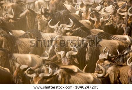 Annual wildebeest migration  #1048247203