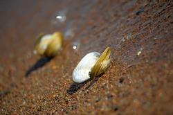 Anodonta anatina - River clam lying on wet sand