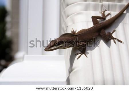 Anole Lizard - Anolis carolinensis or common brown anole