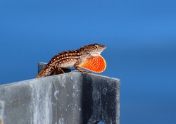 Anole with Frenum Extended
