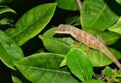 Anolis aeneus (bronze anole) lizard on the leaf of an Ixora tree in Trinidad.