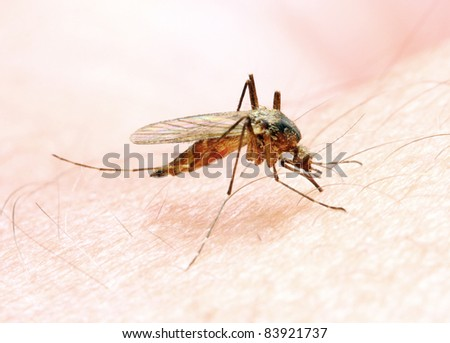 Anopheles mosquito - dangerous vehicle of a Malaria infection.