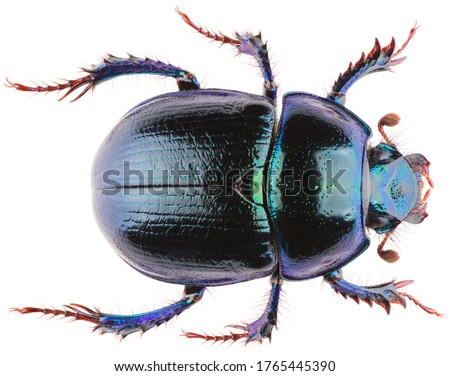 Anoplotrupes stercorosus dor beetle, is a species of earth-boring dung beetle belonging to the family Geotrupidae. Dorsal view of dung beetle Anoplotrupes stercorosus isolated on white background. Stockfoto ©