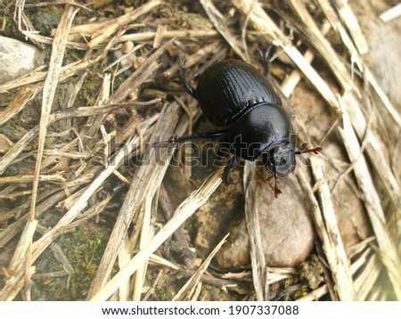 Anoplotrupes stercorosus dor beetle, is a species of earth-boring dung beetle belonging to the family Geotrupidae. Stockfoto ©
